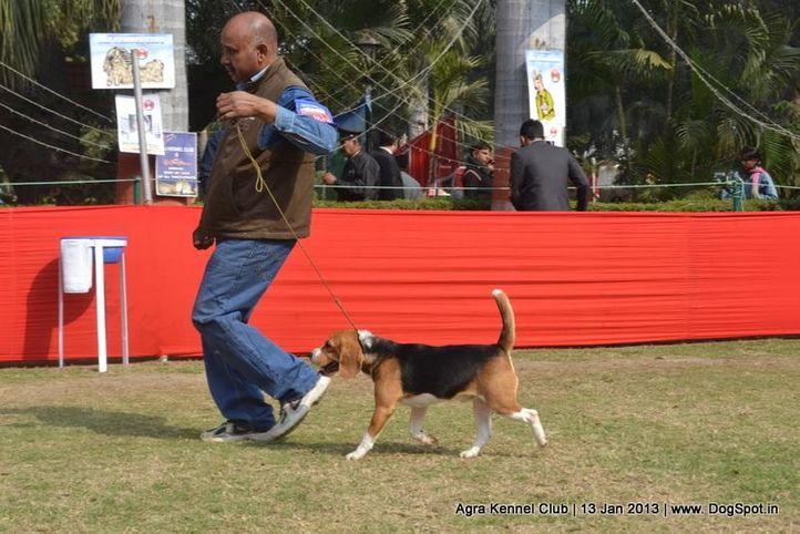 beagle,ex-38,sw-78,, ROSY'S CALIBER RIDER, Beagle, DogSpot.in