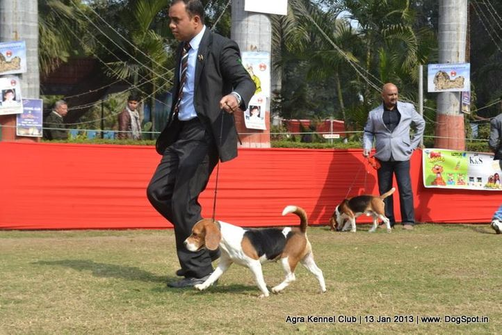 beagle,ex-35,sw-78,, BLUE BELL'S CALLIE, Beagle, DogSpot.in