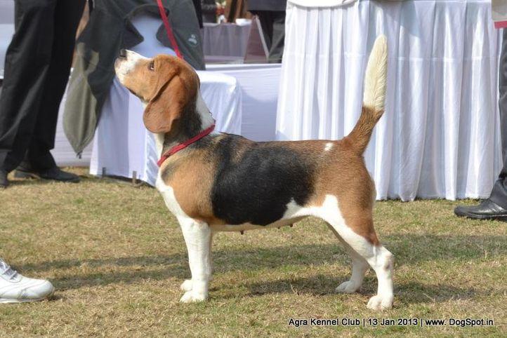 beagle,ex-36,sw-78,, IMPRESSION'S CHELSEA, Beagle, DogSpot.in