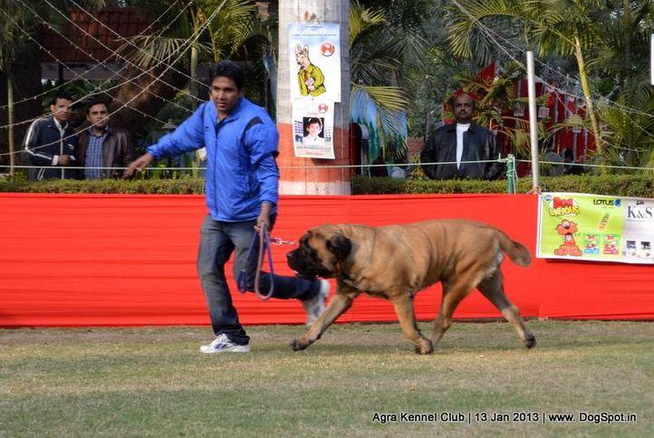 ex-125,mastiff,sw-78,, SANGWAN'S AINA, Mastiff- English, DogSpot.in
