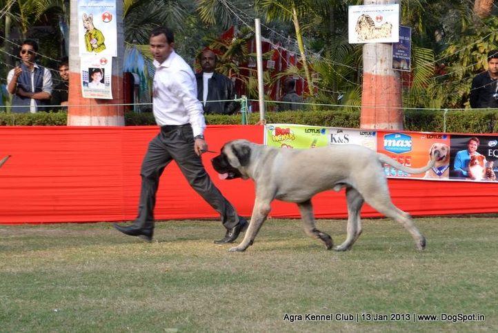 mastiff,sw-78,, 2013 Agra Dog Show, DogSpot.in