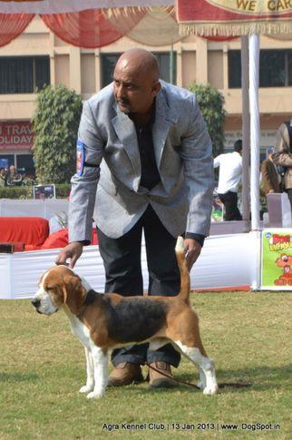 beagle,sw-78,, 2013 Agra Dog Show, DogSpot.in