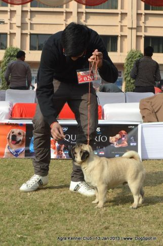 ex-20,pug,sw-78,, SHIV VED'S INA, Pug, DogSpot.in