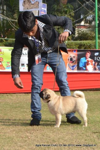 ex-21,pug,sw-78,, SHIV VED'S IFFA, Pug, DogSpot.in