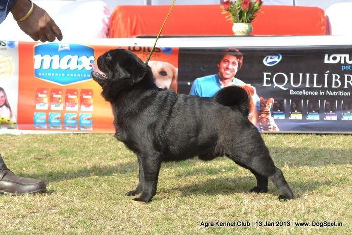 ex-15,pug,sw-78,, BIMRO'S COBU, Pug, DogSpot.in