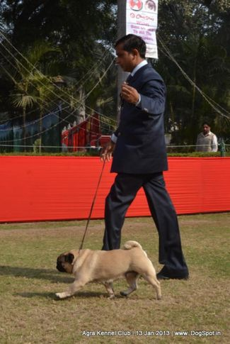 pug,sw-78,, 2013 Agra Dog Show, DogSpot.in