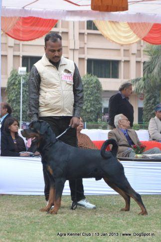 ex-113,rottweiler,sw-78,, 2013 Agra Dog Show, DogSpot.in