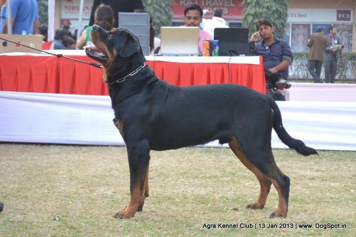 ex-129,rottweiler,sw-78,, MAX OF SOHLOT, Rottweiler, DogSpot.in