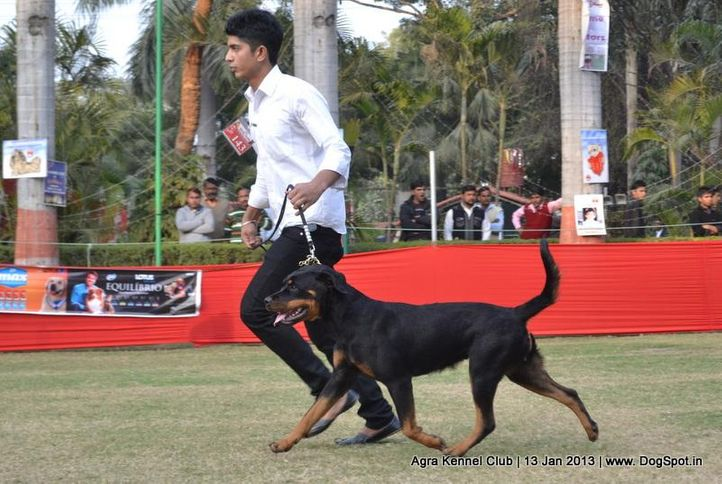 ex-143,rottweiler,sw-78,, KUSH BOO, Rottweiler, DogSpot.in