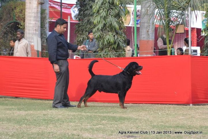 rottweiler,sw-78,, 2013 Agra Dog Show, DogSpot.in
