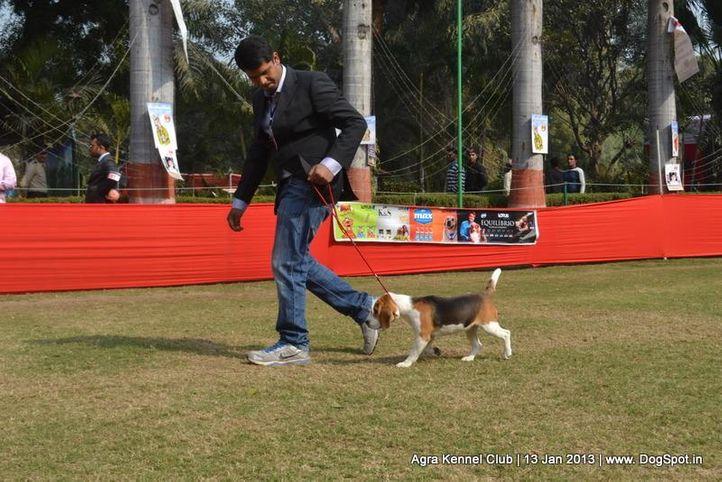 beagle,ex-28,sw-78,, ELLIE OF TRIPATHI, Beagle, DogSpot.in