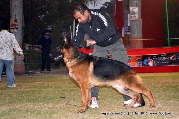 german shepherd,sw-78,, 2013 Agra Dog Show, DogSpot.in