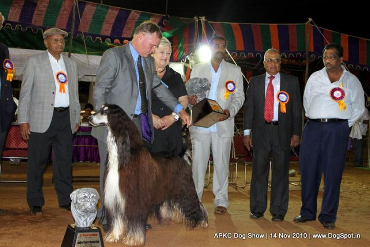 afghan,sw-11,ex-41,lineup,, IN. CH AUST. CH. SATANG TOPHAT NTAILS, Afghan Hound, DogSpot.in