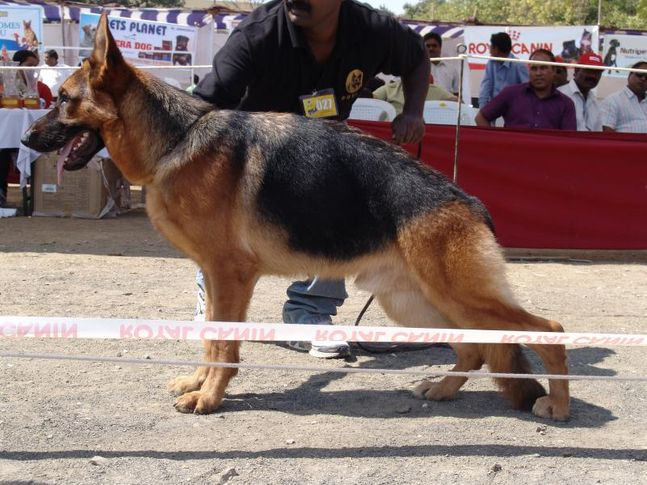 , 7th German Shephard Speciality Show, Nagpur, DogSpot.in