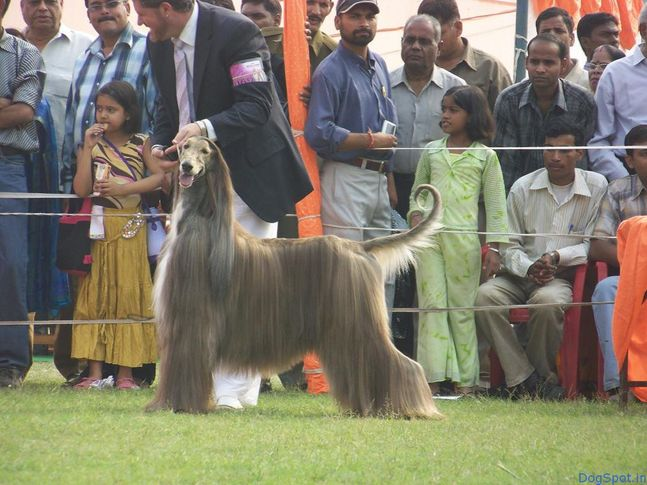 Afghan Hounds, Afghan Hounds, DogSpot.in