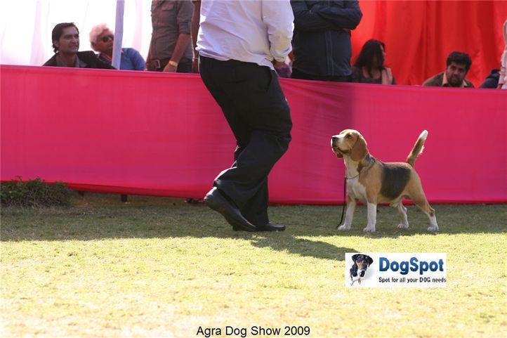beagle,, Agra Dog Show 2008-09, DogSpot.in