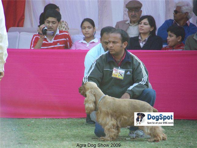 Cocker Spaniel,, Agra Dog Show 2008-09, DogSpot.in