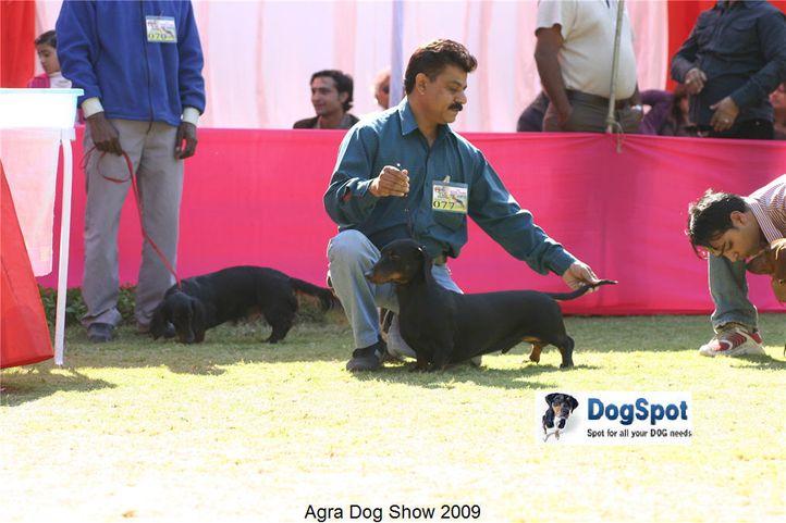 dachshund,, Agra Dog Show 2008-09, DogSpot.in
