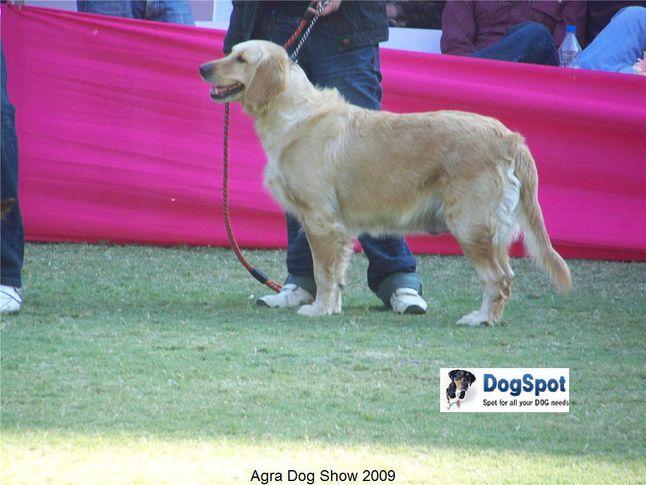 Golden Retriever,, Agra Dog Show 2008-09, DogSpot.in