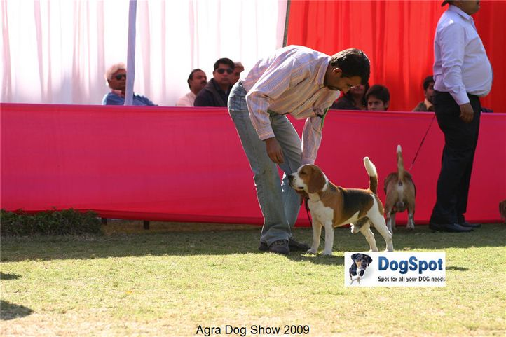 beagle,, Agra Dog Show 2008-09, DogSpot.in