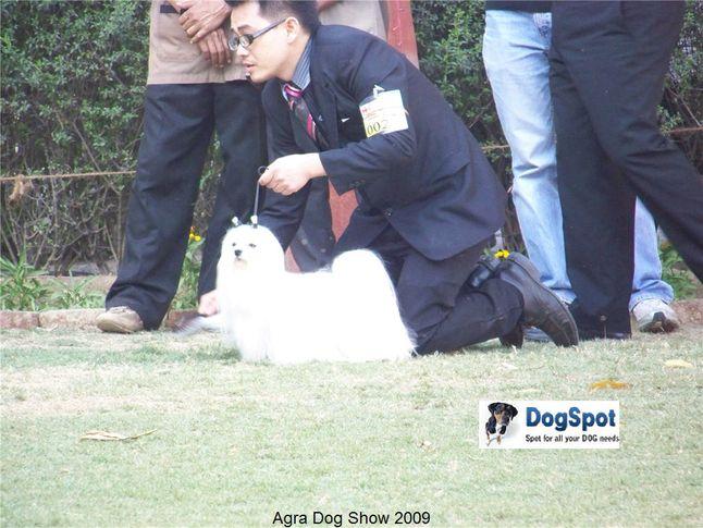 Maltese,, Agra Dog Show 2008-09, DogSpot.in