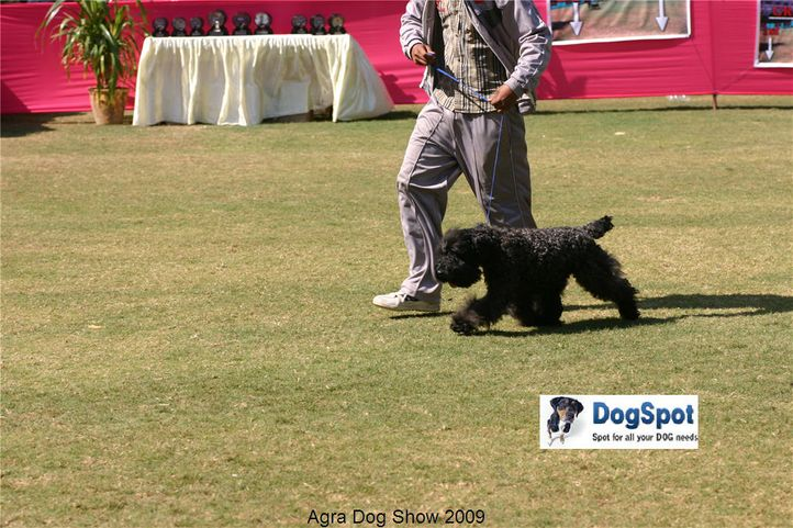 KBT,Kerry Blue,, Agra Dog Show 2008-09, DogSpot.in