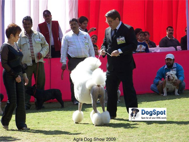 poodle,, Agra Dog Show 2008-09, DogSpot.in