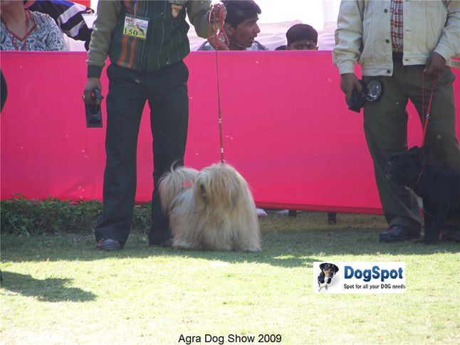 Apso,, Agra Dog Show 2008-09, DogSpot.in