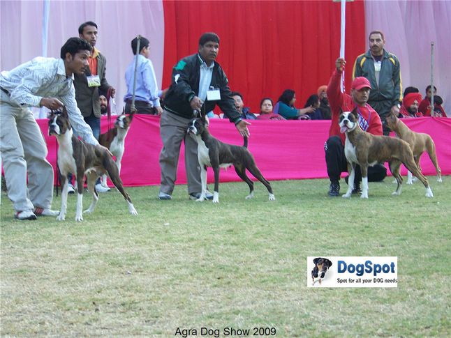 Boxer,, Agra Dog Show 2008-09, DogSpot.in