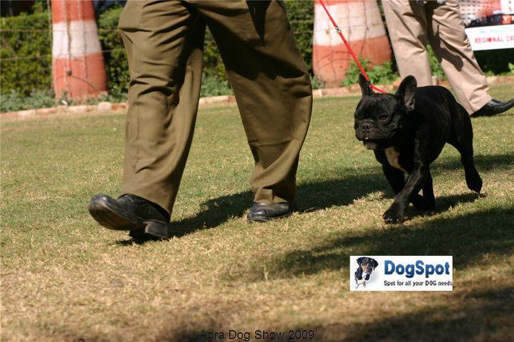 French Bull Dog,, Agra Dog Show 2008-09, DogSpot.in