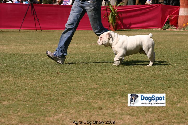 Bull Dog,, Agra Dog Show 2008-09, DogSpot.in