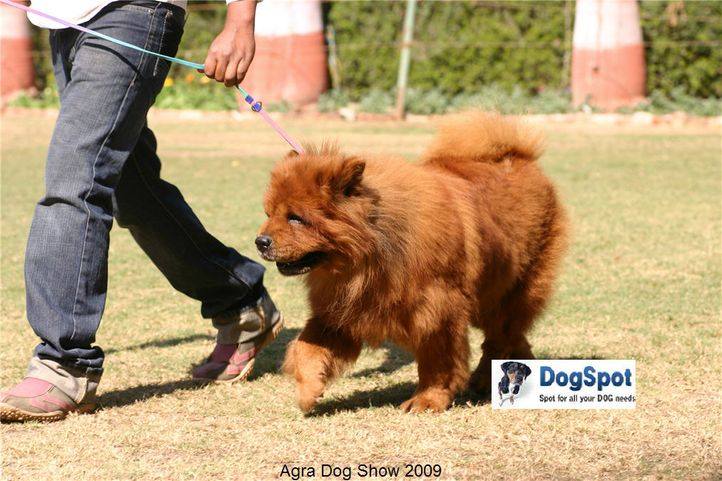Chow Chow,, Agra Dog Show 2008-09, DogSpot.in