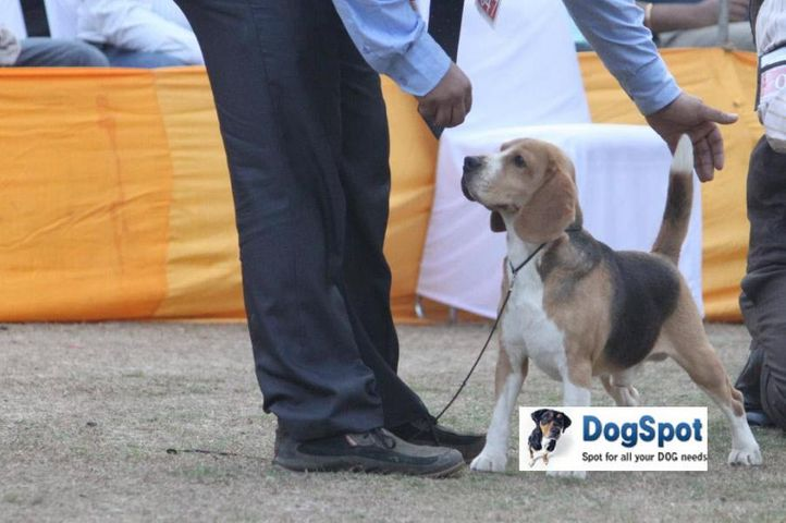 Beagle,Moonlight,, Agra Dog Show 2010, DogSpot.in