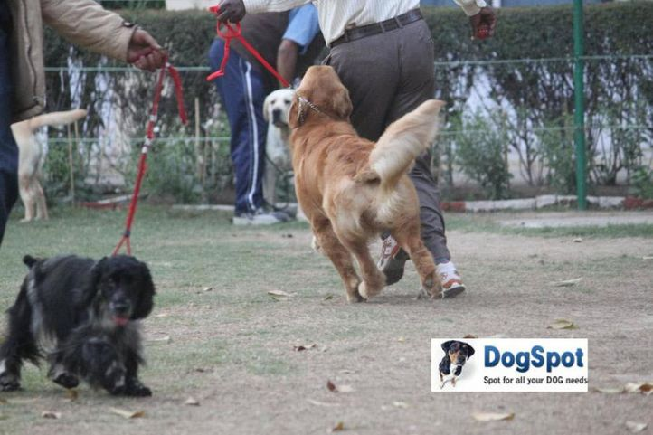 Golden,, Agra Dog Show 2010, DogSpot.in