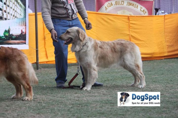 Golden,, Agra Dog Show 2010, DogSpot.in