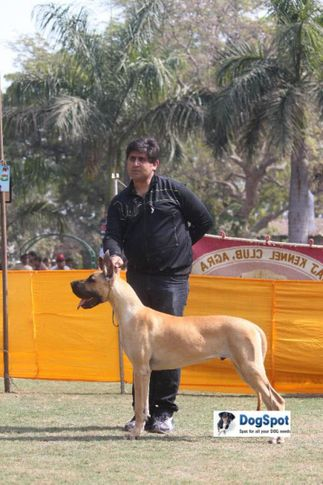 Great Dane,Highly Qualified,, Agra Dog Show 2010, DogSpot.in