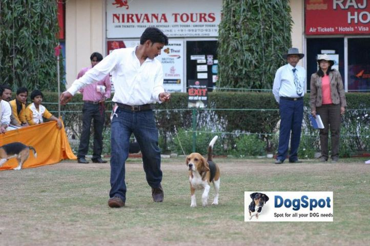 Beagle,, Agra Dog Show 2010, DogSpot.in