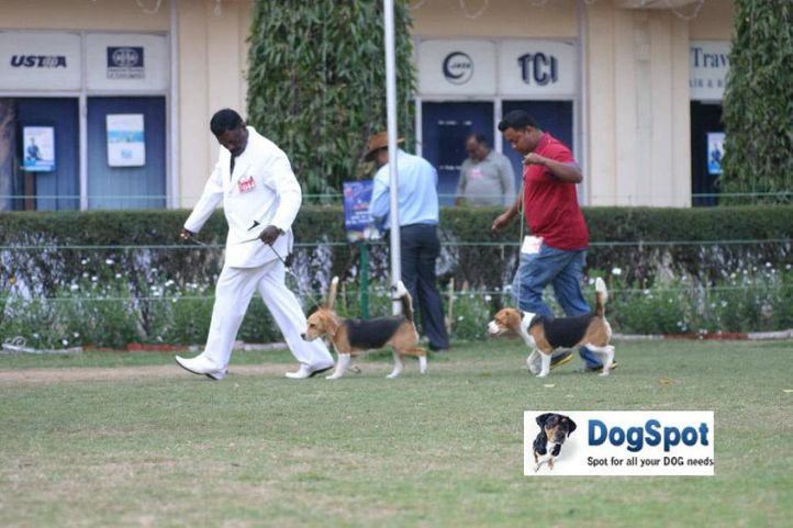 Beagle,, Agra Dog Show 2010, DogSpot.in