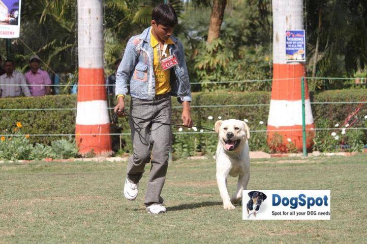Labrador,, Agra Dog Show 2010, DogSpot.in