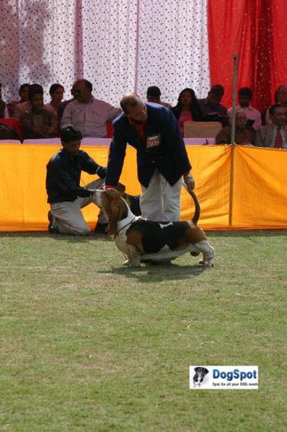 Basset,, Agra Dog Show 2010, DogSpot.in