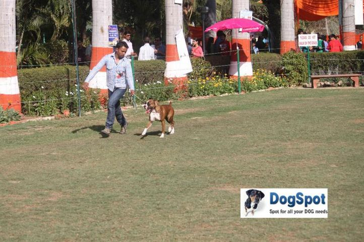 Boxer,, Agra Dog Show 2010, DogSpot.in