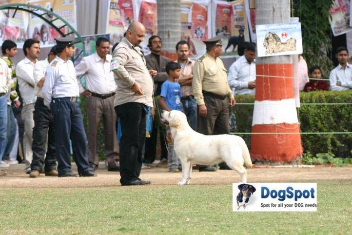 Baby of Sunnyland,Labrador,, Agra Dog Show 2010, DogSpot.in