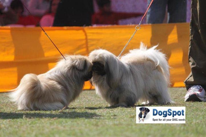 Pekingese,, Agra Dog Show 2010, DogSpot.in
