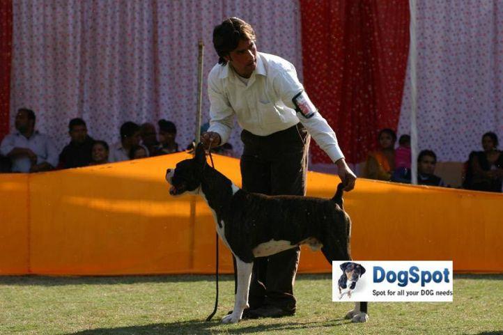Boxer,Sirio,, Agra Dog Show 2010, DogSpot.in