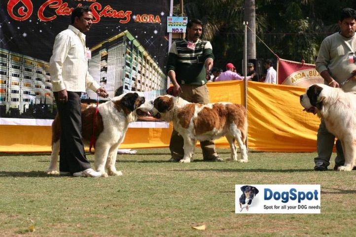 St Bernard,, Agra Dog Show 2010, DogSpot.in