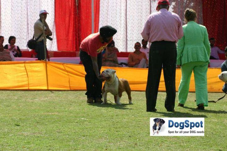 Bull Dog,, Agra Dog Show 2010, DogSpot.in