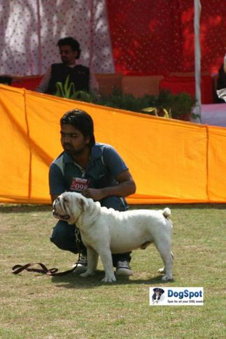 Bull Dog,, Agra Dog Show 2010, DogSpot.in