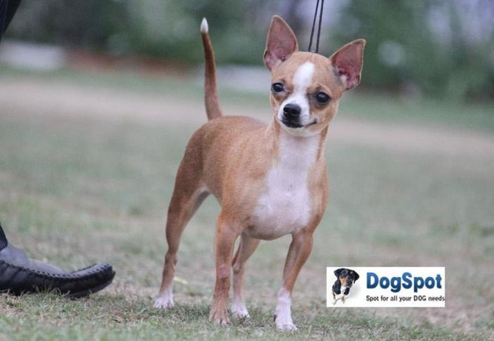 Chihuahua,, Agra Dog Show 2010, DogSpot.in