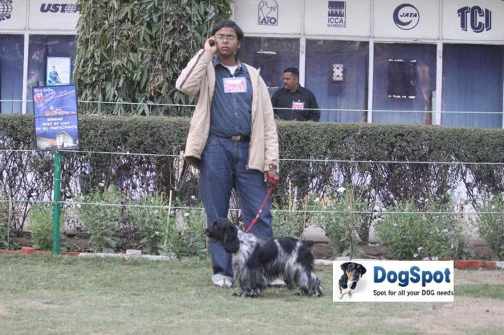 Cocker,, Agra Dog Show 2010, DogSpot.in