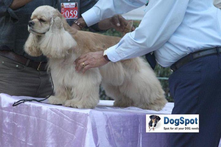 Cocker,, Agra Dog Show 2010, DogSpot.in